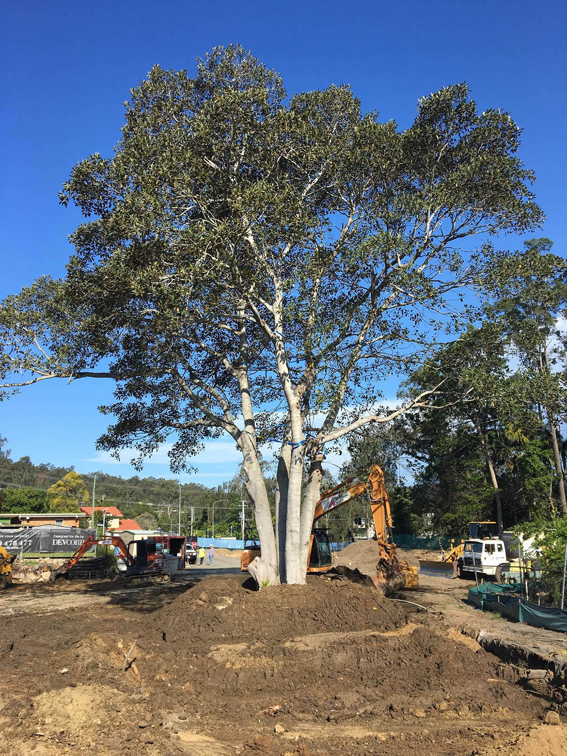 Relocated Moreton Bay Fig - Ficus macrophylla
