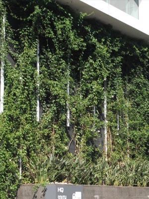 Image of star jasmine trachelospermum jasminoides green wall